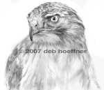 B&W drawing of Blaze: Red-tailed Hawk Mascot of the Audubon Society