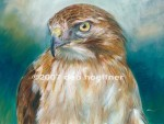 Portrait of Red-tailed Hawk in full color, watercolor and pastel in distinctive soft realism style.